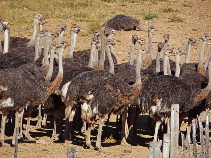 034 Ostriches Everywhere (Oudtshoorn, South Africa)